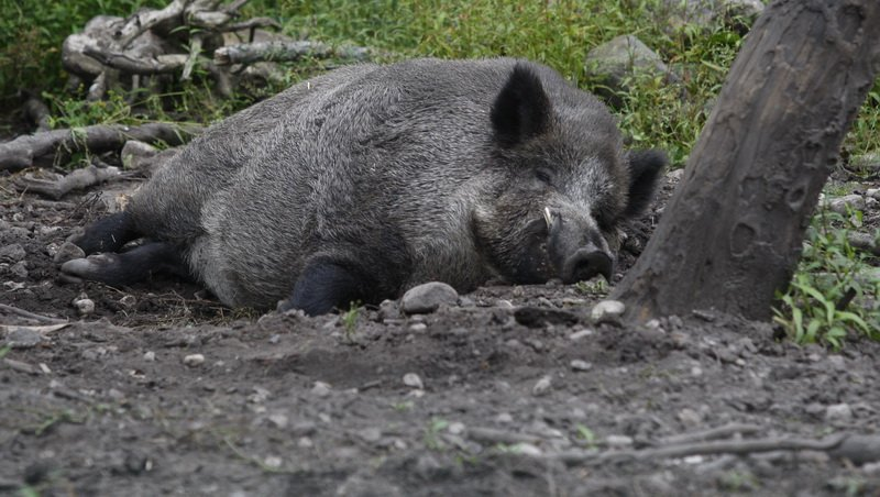 ВВолгоградской области найден вирус африканской чумы свиней